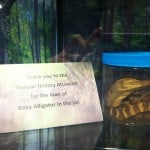 Baby alligator in a jar from the UI Museum of Natural History