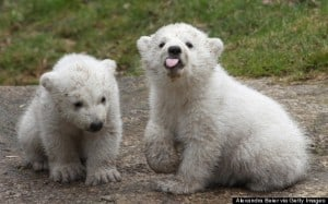 Munich Zoo Presents Twin Polar Bear Cubs