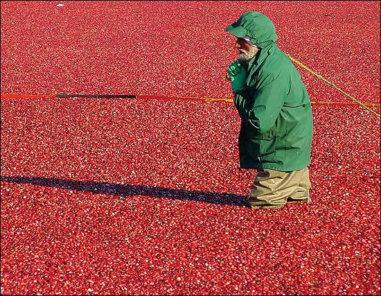 A worker in a cranberry bog.