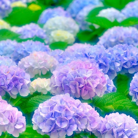 Change The Color Of Your Hydrangea Not Magic It S