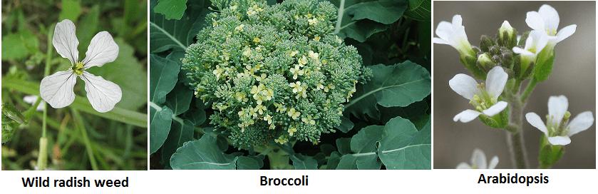 cruciferousflowers4
