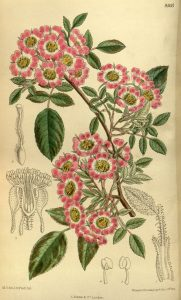 colored lithograph of old fashioned 5 petaled rose