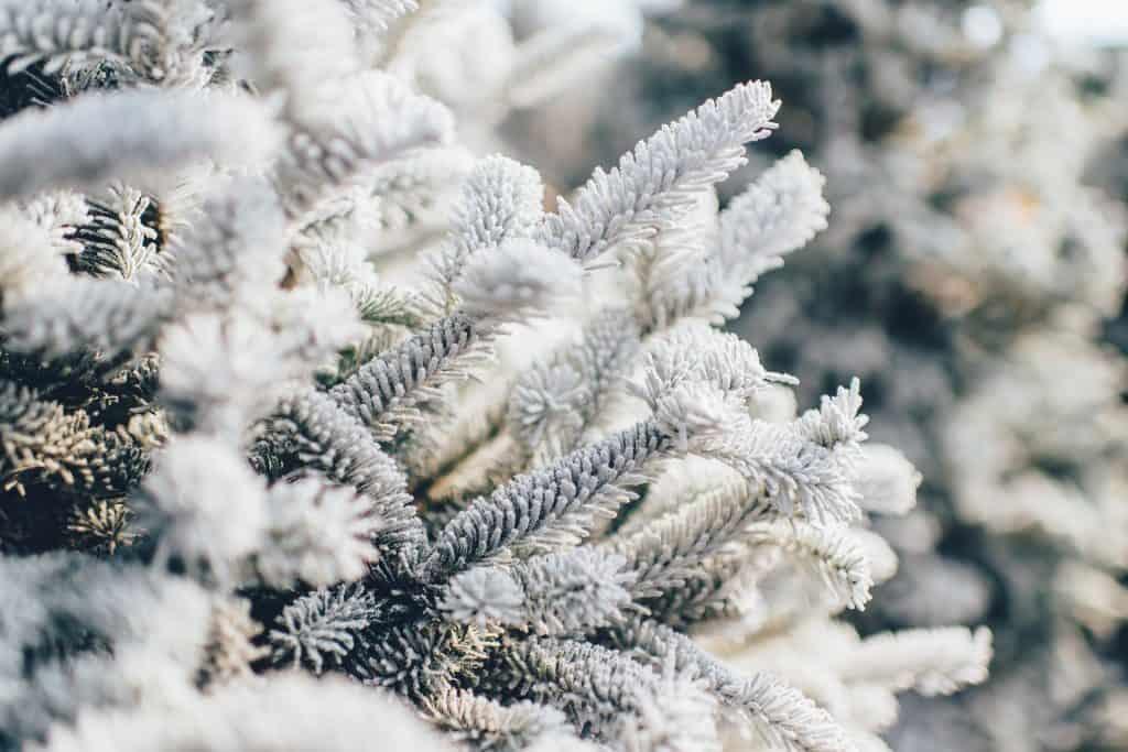 frosty pine tree