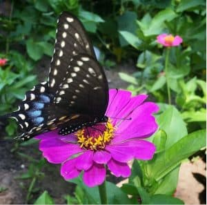 blue swallowtail butterfly on pink zinnia