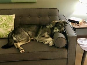 photo of Petunia, mixed breed dog, on couch