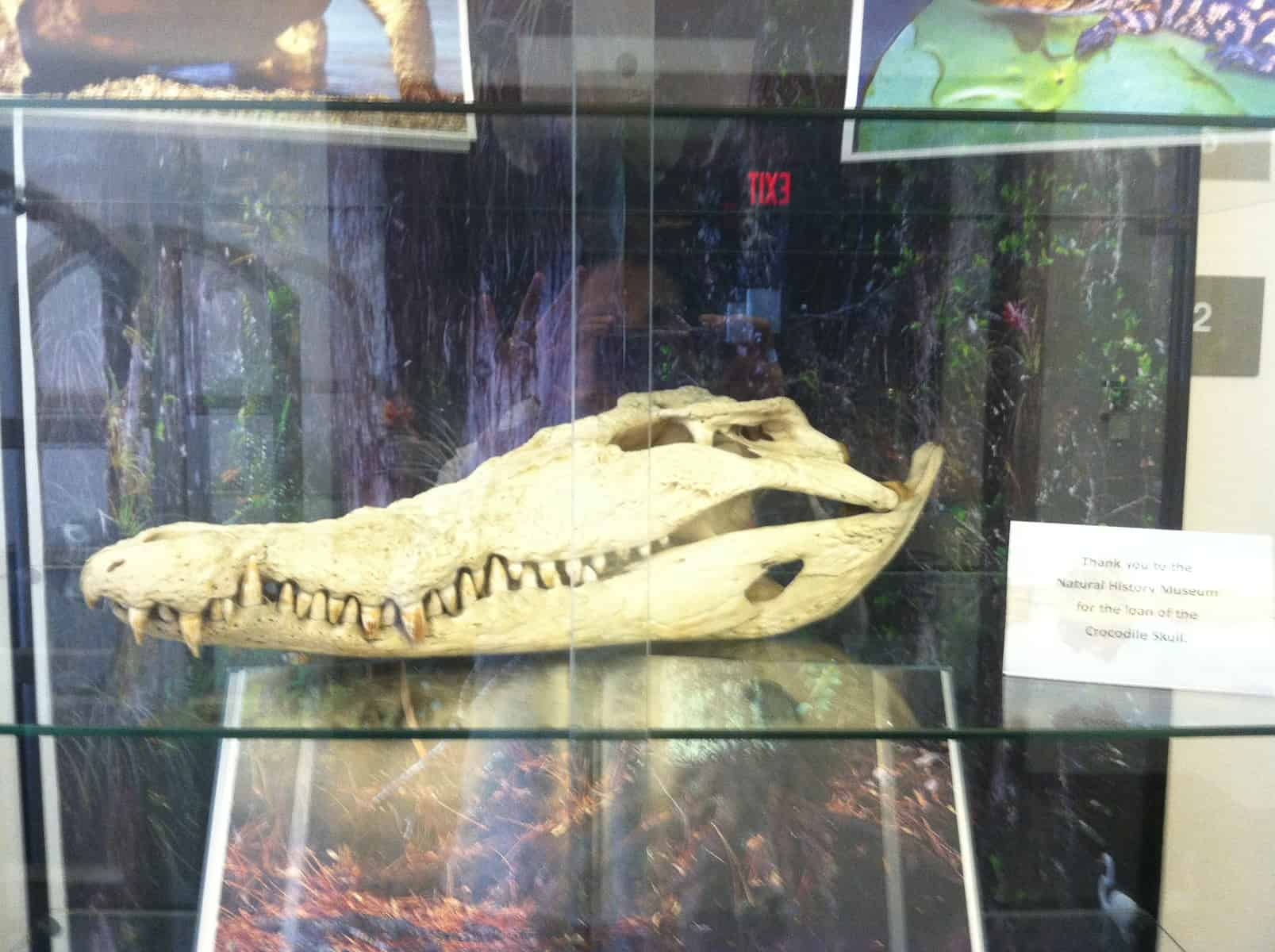 Crocodile Skull from the UI Museum of Natural History