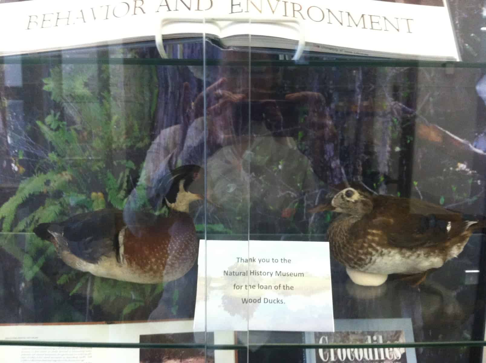Wood ducks from the UI Museum of Natural History