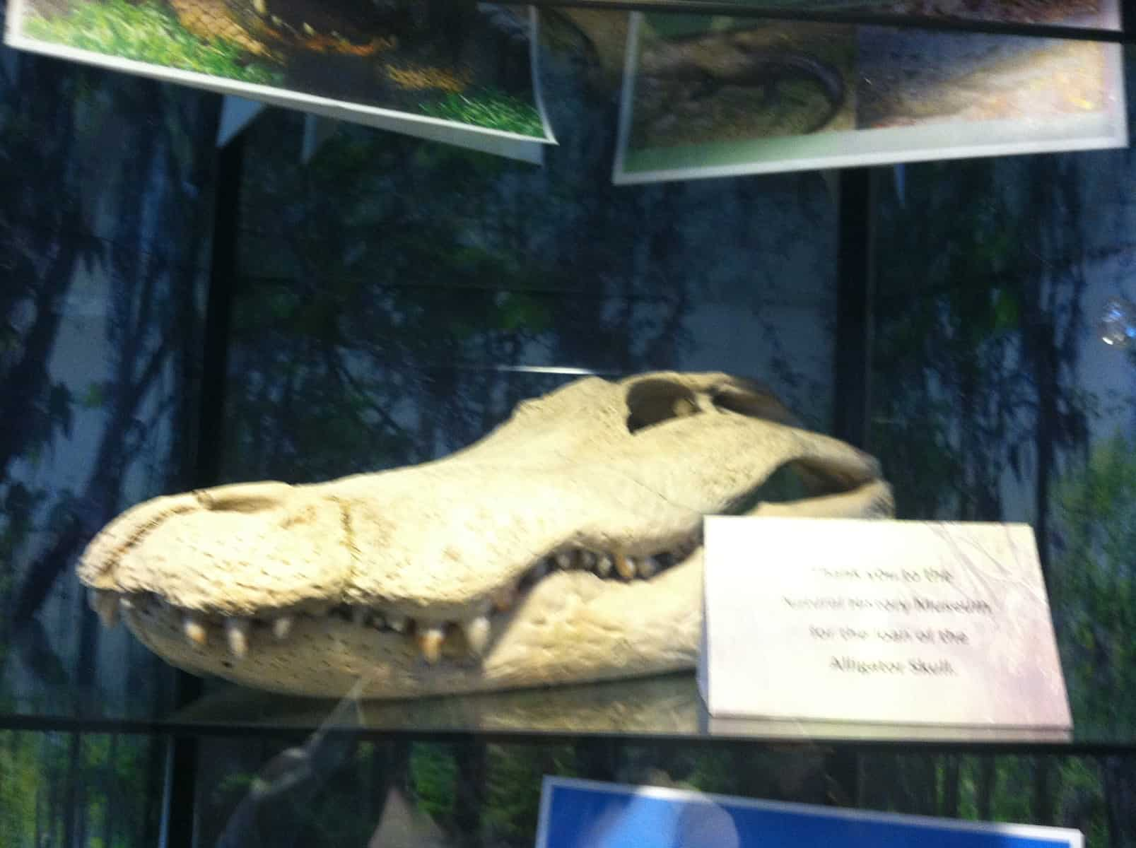 Alligator skull from the UI Museum of Natural History