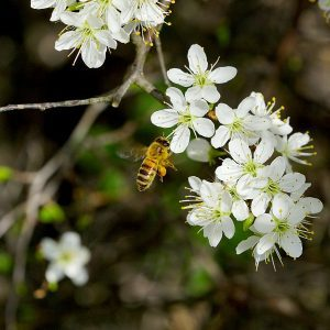 Bee visiting white flowers