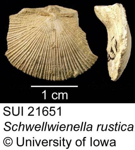 Image of Schellwienella rustica SUI 21651 fossil