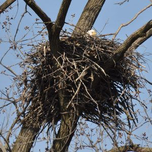 Picture of Bald Eagle nest