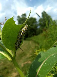Image of monarch caterpillar