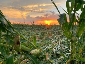Corn damaged near Adel. Courtesy of Lisa Schmitz