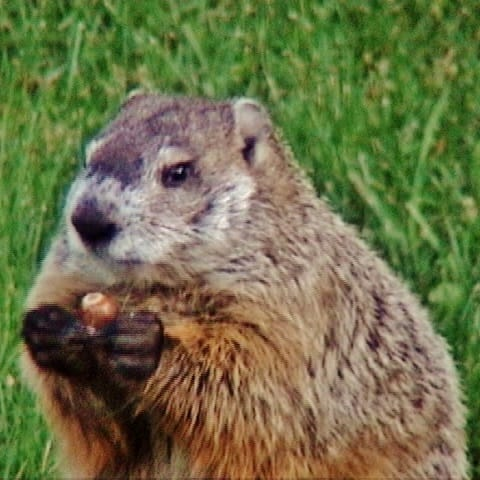 Groundhog prepares to feast on an acorn