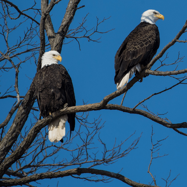 Picture of bald eagles