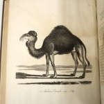 Printed 19th century book illustration of a camel