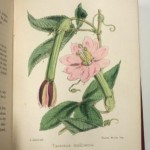 Printed 19th century book illustration of a flower that is hand painted
